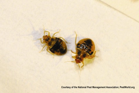 Bed Bugs (photo credit National Pest Management Association)