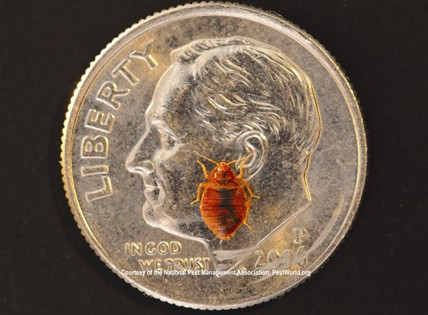Bed Bug (photo credit National Pest Management Association)