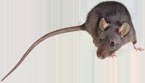 rodent managment