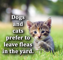 Dogs and cats prefer to leave fleas in the yard